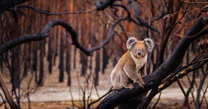 Los incendios en Australia afectaron a tres mil millones de animales